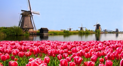 Windmills in the tulip fields
