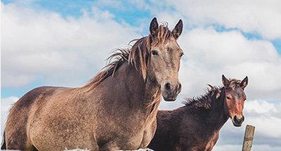 Irish horses