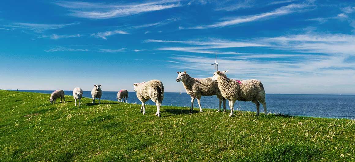 texel lamb dutch food