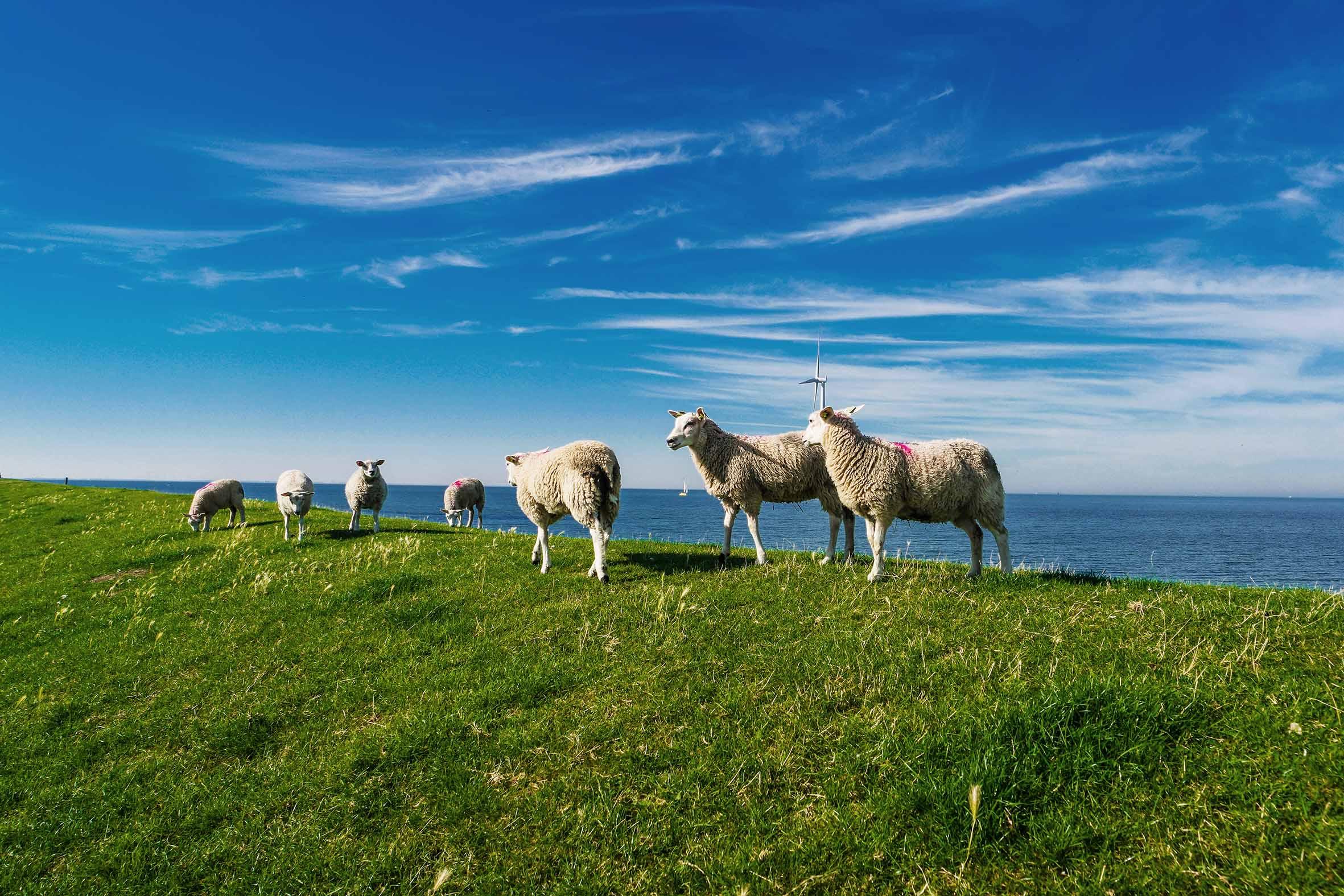 texel lamb
